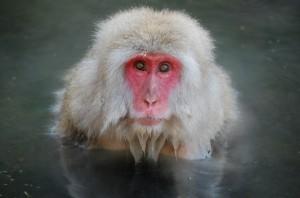Monkey onsen!